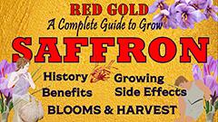 saffron thumbnail